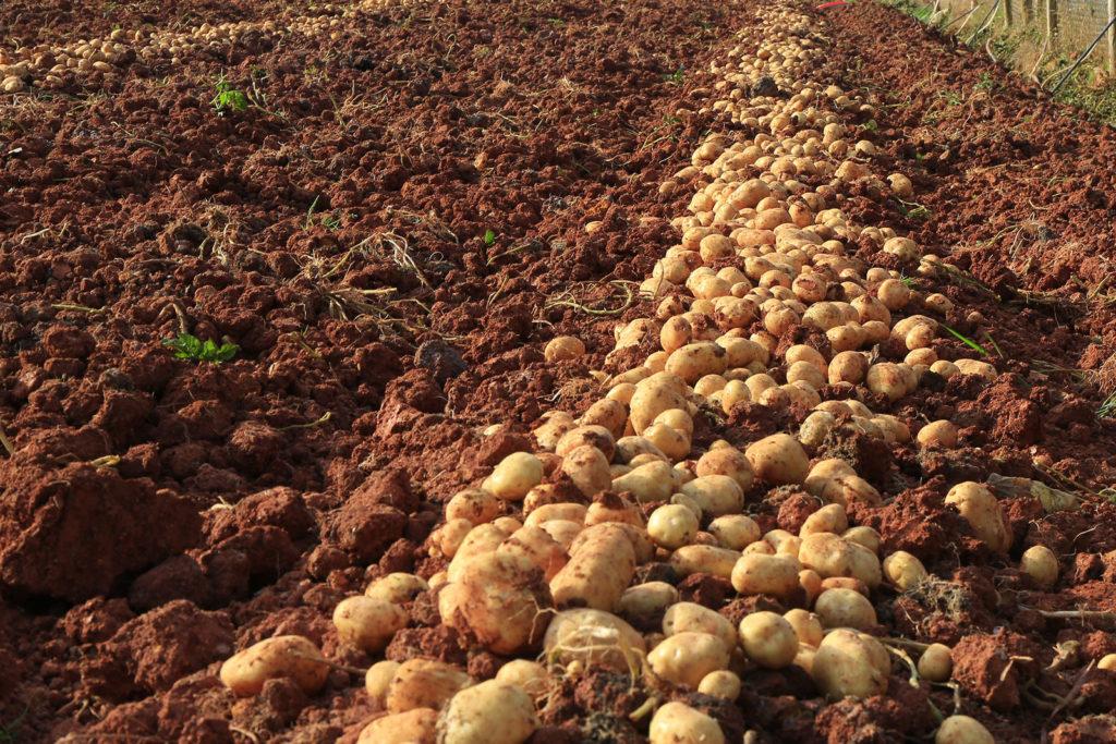 potato farm idaho